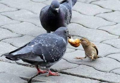 gorrion y palomas